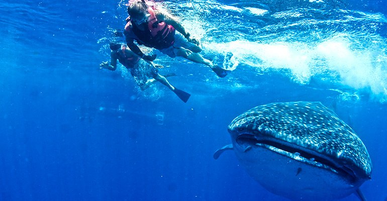 whale sharks - day trips in cancun